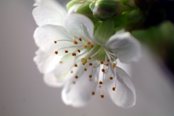 Makro Kirschblüten #2
