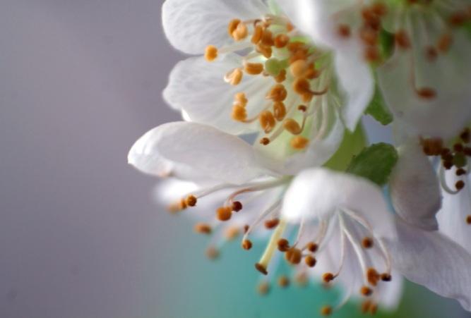 Makro Kirschblüten #4