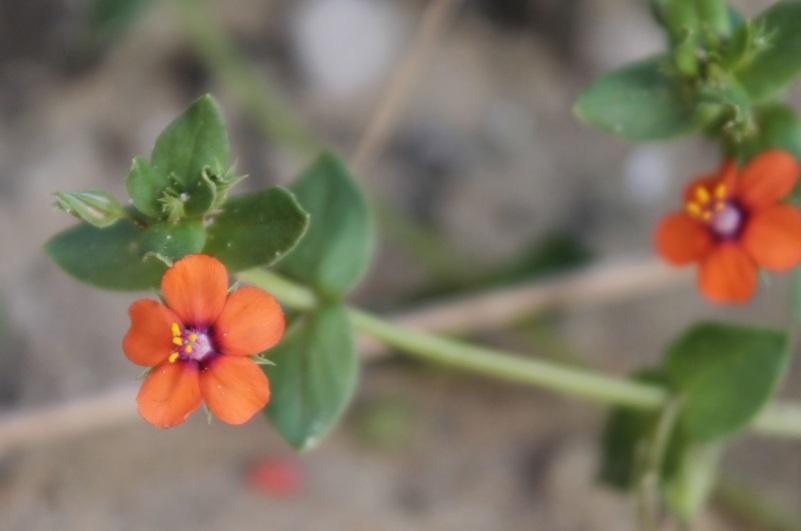 Blume orange#3