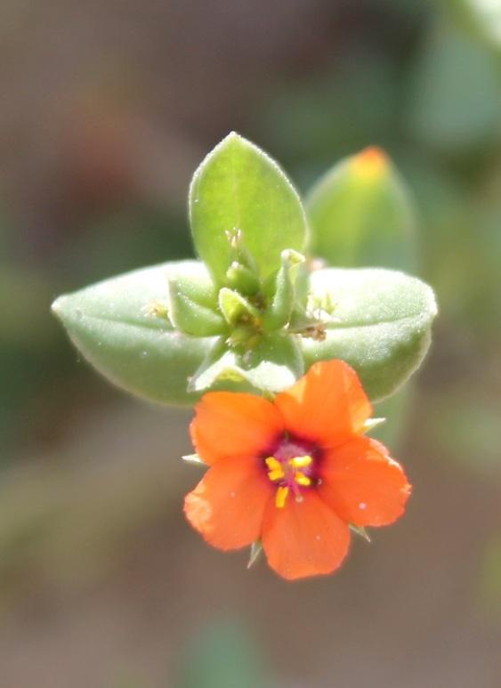 Blume orange#4
