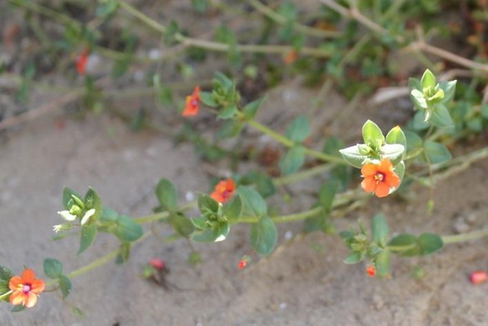Blume orange#5