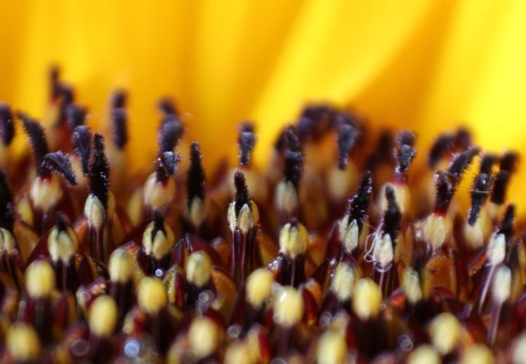 Makro Sonnenblume #4